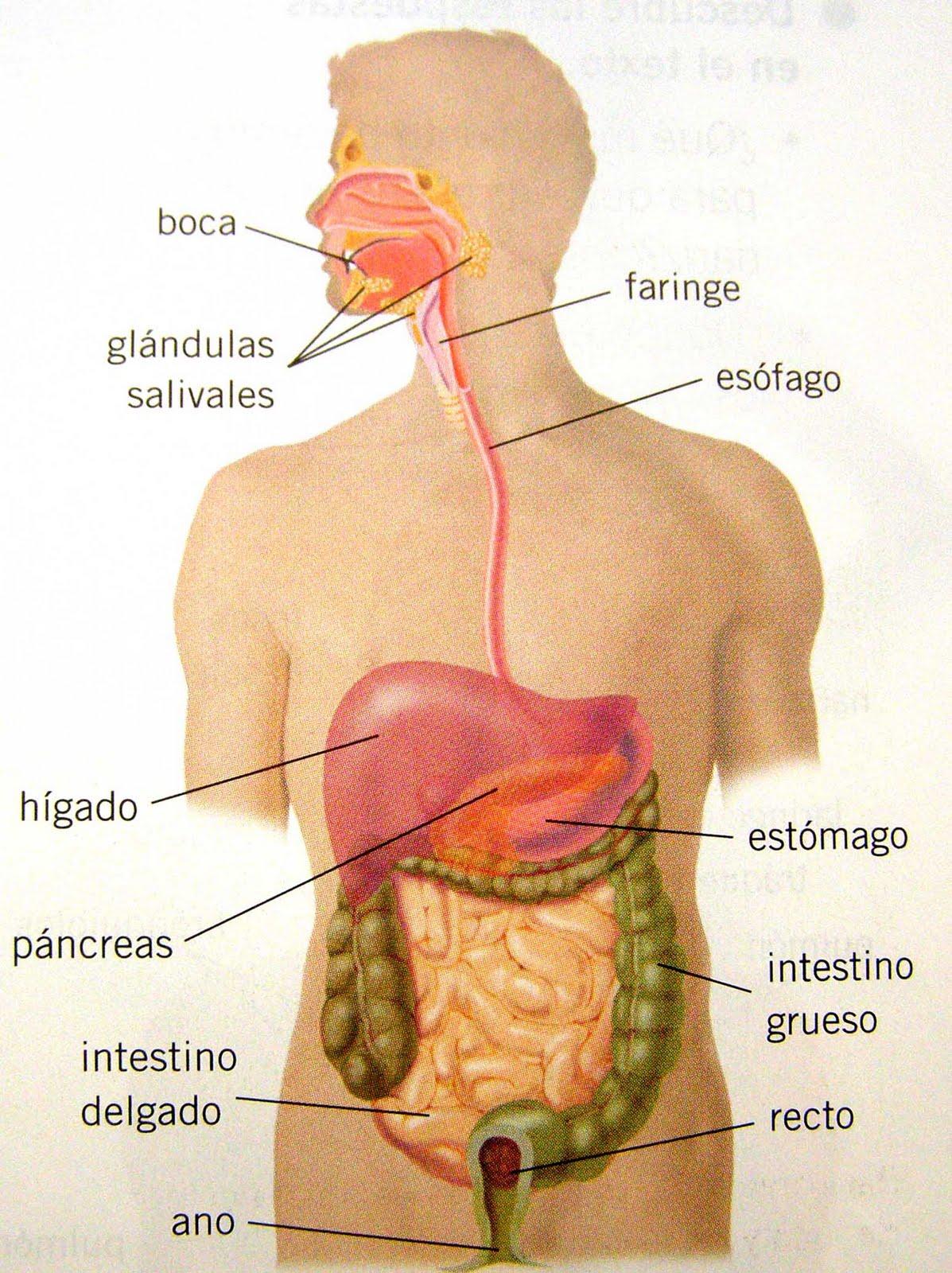Magnífico Diagrama Humano De órganos Imagen - Anatomía de Las ...